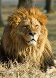 Löwe der König Stockfoto