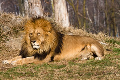 Löwe der König Lizenzfreie Stockfotos