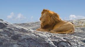 Löwe der König von Afrika Stockfotografie