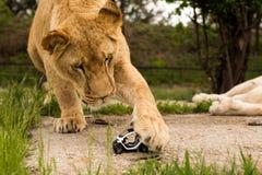 Löwe, der mit einem kleinen Modellauto Renault twizy spielt Stockfotos