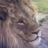 Löwe, der mit klaren Augen anstarrt lizenzfreie stockbilder