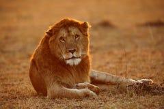 Löwe, der in Morgenstunden stillsteht lizenzfreies stockbild