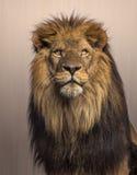 Löwe, der oben auf braunem Hintergrund schaut Lizenzfreie Stockfotos
