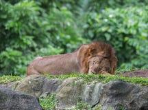 Löwe, der süß auf Steinen und Gras im Singapur-Zoo schläft Lizenzfreie Stockfotos