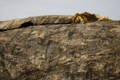 Löwe, der Serengeti im Nationalpark schläft Stockbild