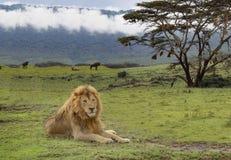 Löwe, der in Serengeti mit Akazienbaum legt lizenzfreies stockbild