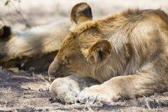 Löwe, der in Serengeti schläft Lizenzfreie Stockfotos