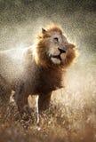 Löwe, der weg vom Wasser rüttelt Stockfotografie