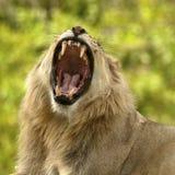 Löwe, der Zähne zeigt Stockbild
