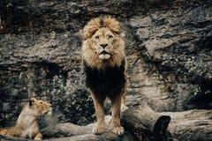Löwe, der zu einer Kamera im wilden Leben schaut stockbilder