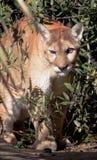 Löwe durch Blätter Stockfotografie