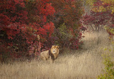 Löwe in einer vertrauten Umwelt Lizenzfreie Stockbilder