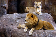 Löwe-Familie Stockbild