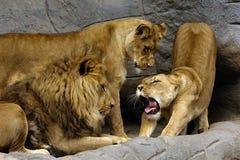Löwe-Familie Lizenzfreies Stockbild