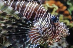Löwe-Fische Stockfotos