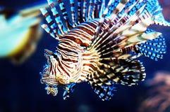 Löwe-Fische lizenzfreie stockfotografie