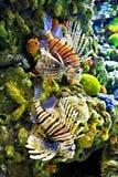 Löwe-Fische Stockfoto