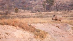 Löwe gegen Nashorn Stockfoto