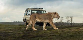 Löwe geht hinter Fahrzeug lizenzfreies stockfoto