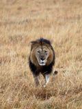 Löwe geht sich zu treffen Lizenzfreies Stockfoto