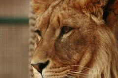 Löwe-Gesicht Stockbilder
