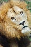 Löwe-Gesicht Stockbild