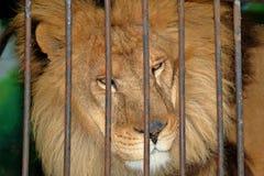 Löwe hinter Gittern in einem Zookäfig Stockfotografie
