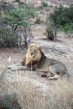 Löwe im bushveld Stockbilder