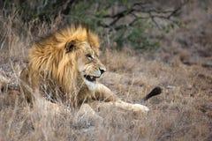 Löwe im Gras am Spielreservesafari-park stockbilder