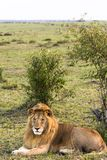 Löwe im Hintergrund der Savanne kenia Lizenzfreies Stockbild