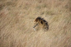 Löwe im langen Gras Lizenzfreies Stockfoto
