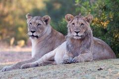 Löwe im Park Stockfotos