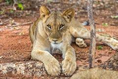 Löwe im Sambia Stockbild