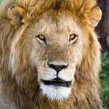 Löwe im Serengeti Lizenzfreie Stockfotografie