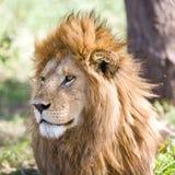 Löwe im Serengeti Stockbild