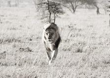 Löwe im Wind Stockfotografie