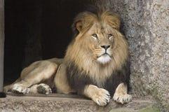 Löwe im Zoo stockbild