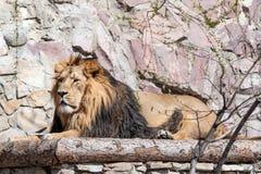Löwe im Zoo Lizenzfreie Stockfotos