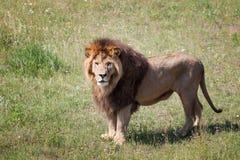 Löwe ist auf dem Feld Stockfoto