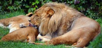 Löwe ist eine Klasse Panthera, Stockfoto