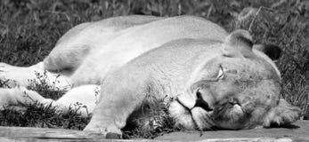 Löwe ist eine Klasse Panthera, Stockbild