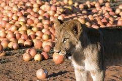Löwe-Junges und Pampelmuse Stockbilder