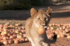 Löwe-Junges und Pampelmuse Lizenzfreie Stockfotografie