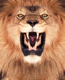 Löwe-König Lizenzfreie Stockfotografie