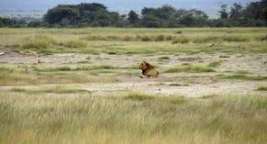 Löwe in Kenia stockfotografie