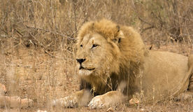 Löwe Kruger im Nationalpark Lizenzfreies Stockfoto