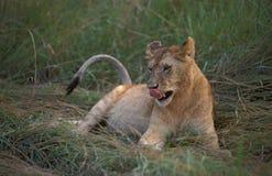 Löwe, Leeuw, Panthera Löwe stockfotografie