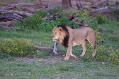 Löwe. Lion in the Makgadikgadi Pans Nationalpark in Botsuana Royalty Free Stock Photography