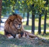 Löwe lokalisiert auf dem Gras in einem offenen Raum stockbilder