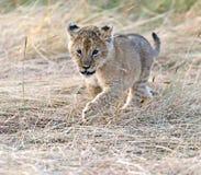 Löwe-Masai Mara Stockbild